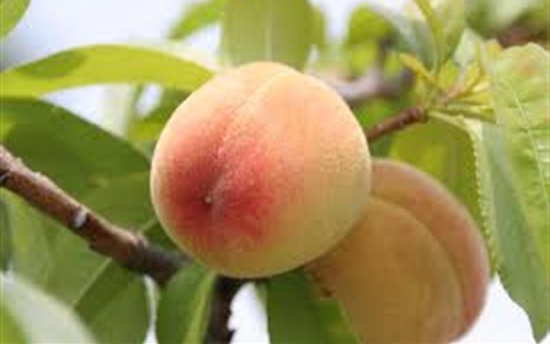 Flordaking (Florida King) Peach