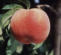 Red Globe Peach Picture