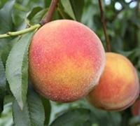 Red Skin Peach Picture