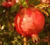 Salavatski - Russian #8 Pomegranate