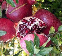 Edible Pomegranate - Fruit Bushes