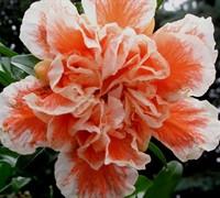 Ki Zakuro Pomegranate Picture