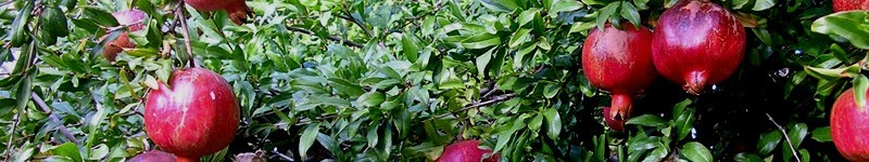 How And When To Pick And Store Pomegranate Fruit