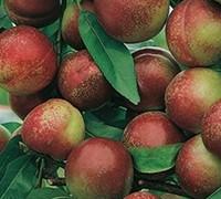 Armking Nectarine Picture