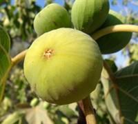 Lemon Fig Picture