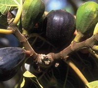 Lsu Purple Fig Picture