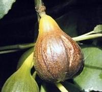 Magnolia Fig Picture