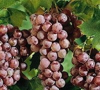 Reliance Red Grapes Picture