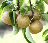 Hosui Asian Pear Picture