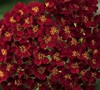 Desert Eve Red Yarrow