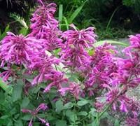 Grape Nectar Agastache Picture