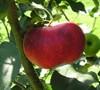 Yates Apple Tree