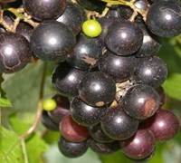 Albermarle Muscadine Picture