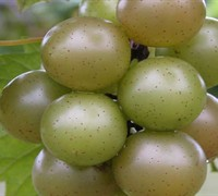 Doreen Muscadine Picture