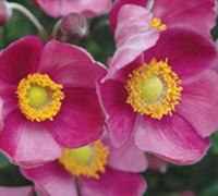 Pretty Lady Diana Anemone Picture