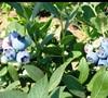 Biloxi Blueberry
