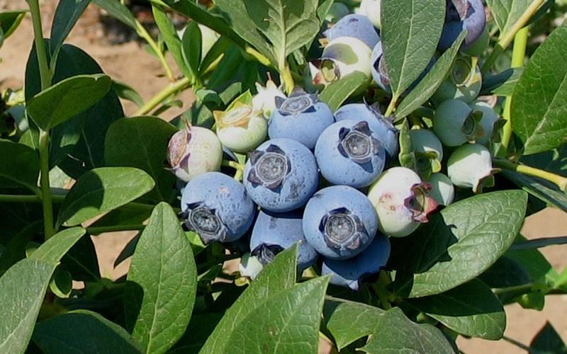 Biloxi Blueberry Picture