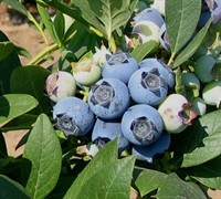 Biloxi Blueberry Picture