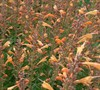 Apricot Nectar Agastache Ppaf