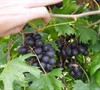 Southern Home Muscadine