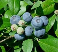 Vernon Rabbiteye Blueberry Picture