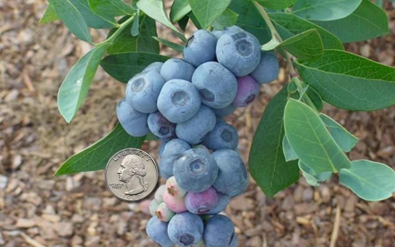 Titan Blueberry Picture