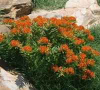 Butterfly Weed Picture