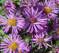 English Countryside Aster Picture