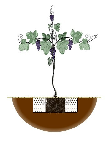 Grapevine planting diagram