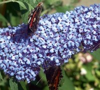 Buzz Sky Blue Buddleja Picture