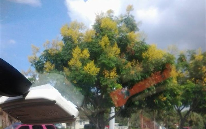 Unknown Flowering Tree in Boca Raton