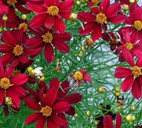 Red Satin Coreopsis Picture
