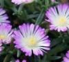 Violet Wonder Hardy Ice Plant