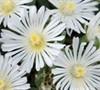 White Wonder Hardy Ice Plant