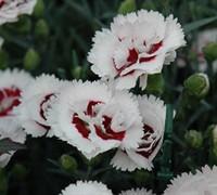 Coconut Surprise Dianthus Picture