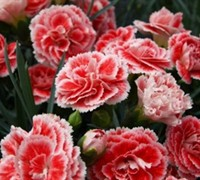 Coral Reef Dianthus Picture