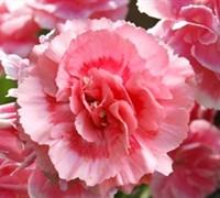 Romance Dianthus Picture