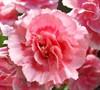 Romance Dianthus