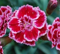 Sugar Plum Dianthus Picture