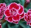 Sugar Plum Dianthus