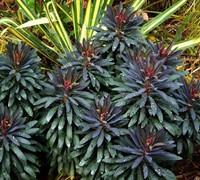 Blackbird Euphorbia Picture