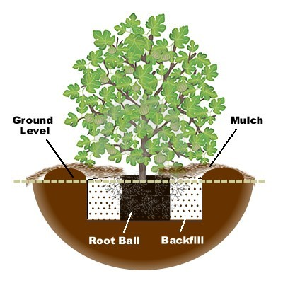 Planting a fig tree diagram
