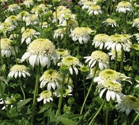 White Double Delight Coneflower Picture