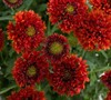 Gayla Red Spark Gaillardia