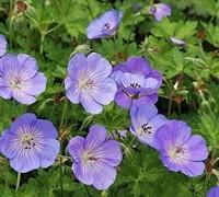 Azure Rush Geranium Picture