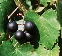 Black Fry Muscadine Picture