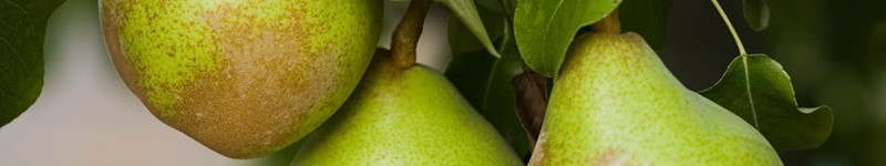 How And When To Pick And Store Pears
