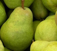 Bartlett Pear Tree Picture