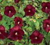 Heartthrob Hibiscus