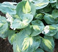 Dream Weaver Hosta Picture